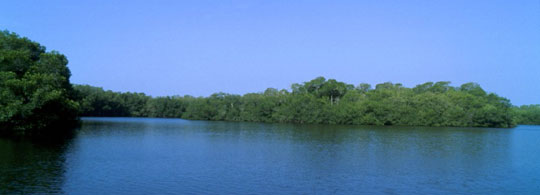 mangrove-bos