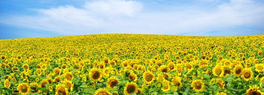 zonnebloemen5