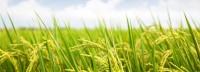 Rijst kan Afrika uit de armoede halen